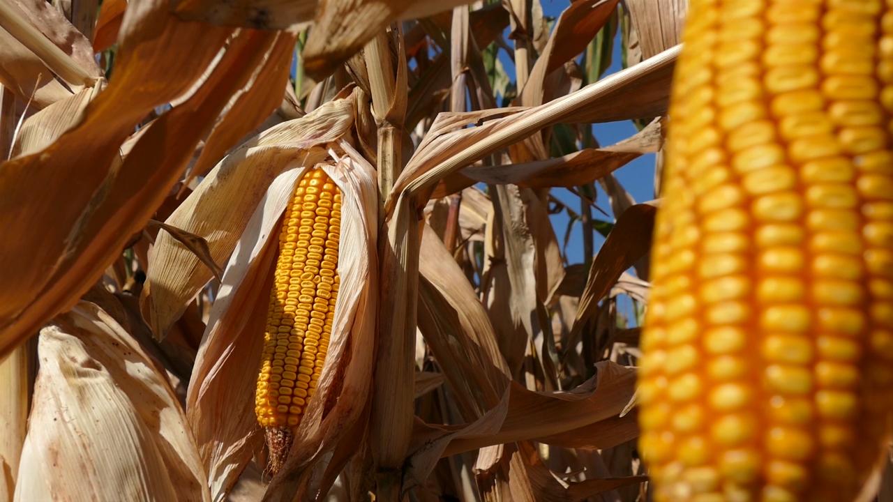 U Podrinju rekordni prinosi kukuruza