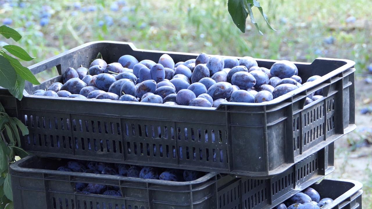 Iz Srbije za Hrvatsku otišlo oko 913 tona šljiva