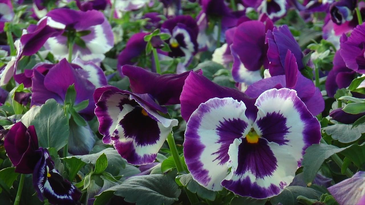 Jesenje sadnice cveća u gazdinstvu Pavlović