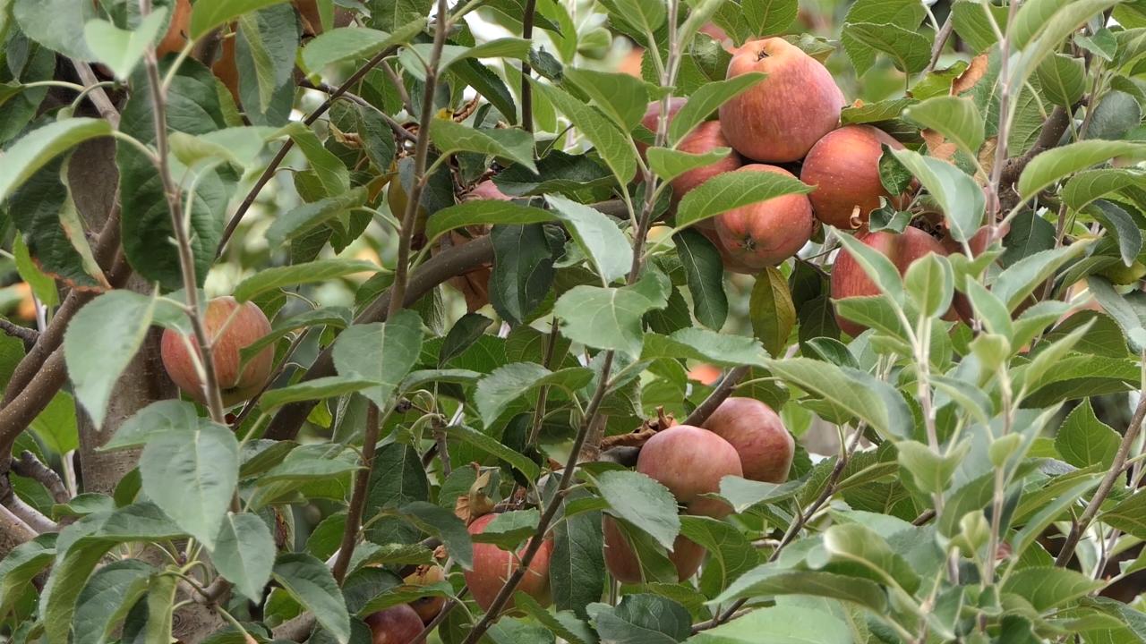 Topličani uglavnom gaje stare, gotovo zaboravljene sorte jabuka i krušaka