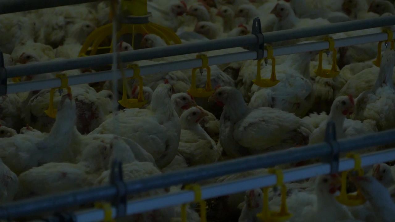 Nije potvrđen nijedan slučaj ptičijeg gripa kod domaće živine