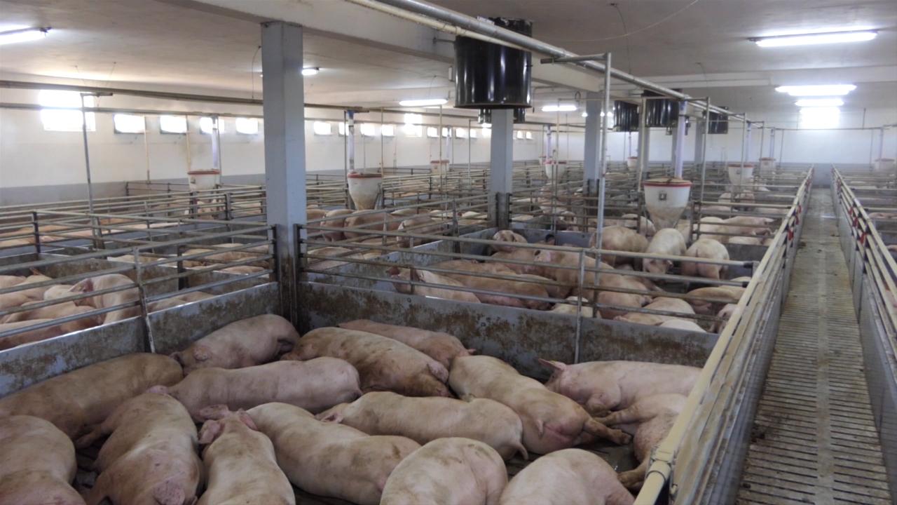 Ponovo radi farma tovljenika u Ilincima