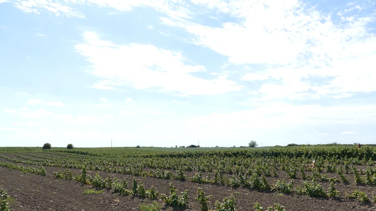 Izazovi uzgoja maline u Vojvodini