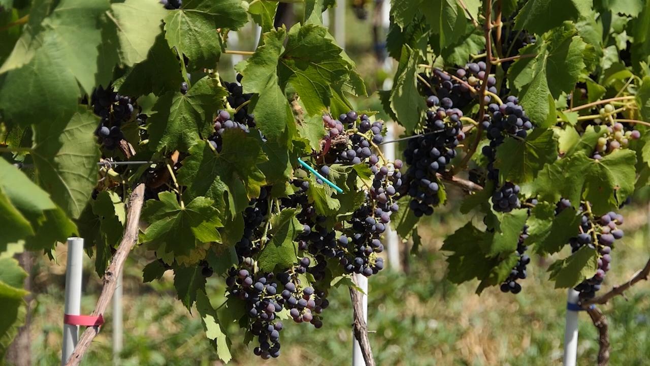Točiće se kvalitetno vino
