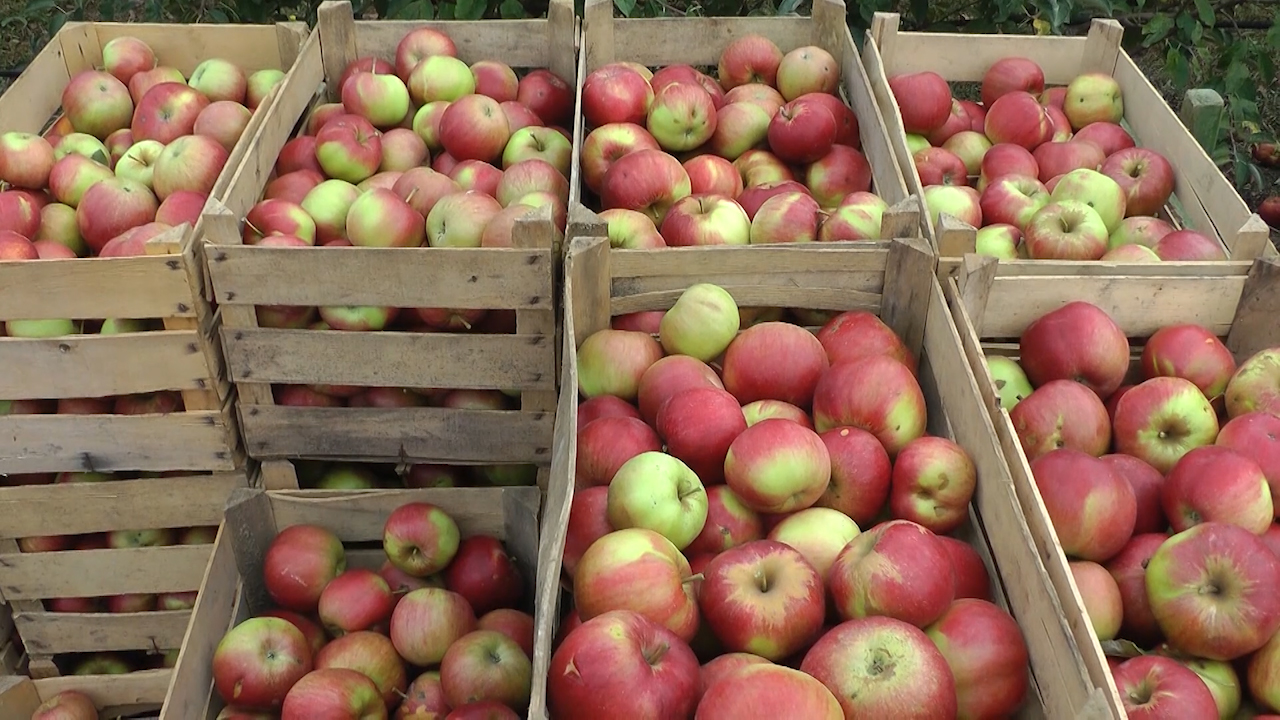Velika konkurencija u izvozu jabuke