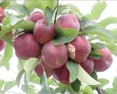Izvoz jabuka nije ugrožen