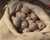Najbolji uslovi za sadnju krompira