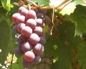 Upisivanje u vinogradski registar