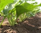 Lepo vreme najavljuje nastavak setve šećerne repe