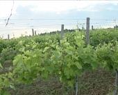 Vinogradi rešenje za oživljavanje rudarskih kopova