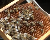Radovi u pčelinjaku u mesecu maju
