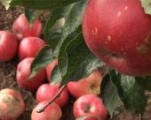 Manji izvoz voća