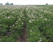 Oživljavanje Centra za krompir u Guči
