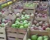 Srpske jabuke ne sadrže višak pesticida