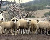 Psi preklali ovce