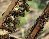 Čajevi i med mogu u EU