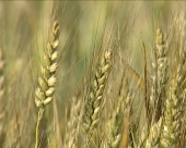 Američko žito genetski modifikovano?
