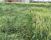 Poleganje pšenice