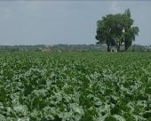 Očekuje se proizvodnja oko 450.000 tona šećera