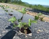 Zasadi šumskih jagoda u Boru
