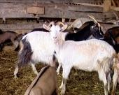 Porodična farma koza