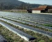 Savremeni zasadi jagoda u Trsteniku