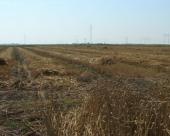 Gubitak zbog poleganja pšenice oko 6.000 ha
