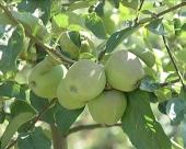 Bolesti jabuke