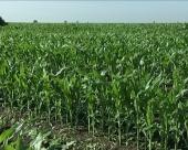 Kukuruzu potrebna zaštita