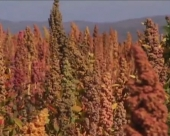 Zlatno zrno kvinoje uspeva i kod nas
