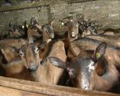 Kozji sirevi iz Kukujevaca u Kuvajtu i Pakistanu