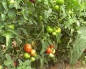 Bolesti paradajza