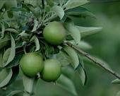 Navodnjavanje voćnjaka