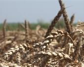 Kilo hleba za četiri kilograma pšenice