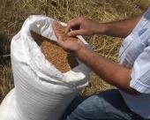 Krajem godine skuplja pšenica