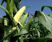 Suša ugrožava kukuruz i soju