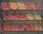 Rekordan rod voća