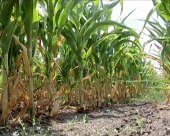 Ugrožen rod kukuruza