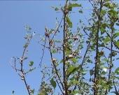 Zaštita višnje