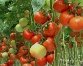 Organski paradajz u Sloveniji