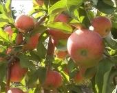Dobar rod jabuke ne prati i kvalitet