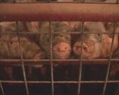 Tov svinja u Subotincu