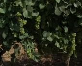 Vinogradarstvo kao porodična ljubav