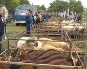 Izložbe ovaca i koza