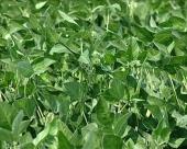 GMO proizvodnja neisplativa