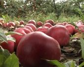 Tretiranje jabuke nakon berbe