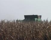 Berba kukuruza u Čačku