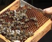 Pčelarstvo u Bačkoj rasprostranjeno