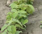 DSS protiv GMO