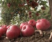 Jabuke trunu u hladnjači jer nema struje